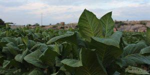 tobacco leaf, tobacco leaves