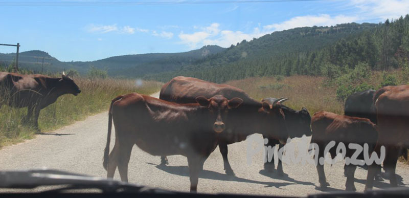 Cows In The Road, Cattle