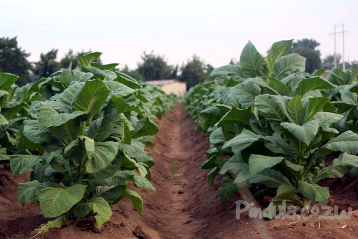 Top Tobacco Farmer Fined US$9K For Planting Before Stipulated Dates