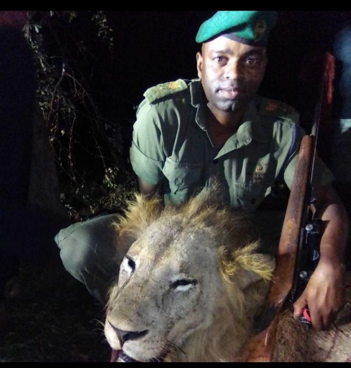 Marauding Lion Shot Dead In Triangle After Week Of Terror - pindula.co.zw