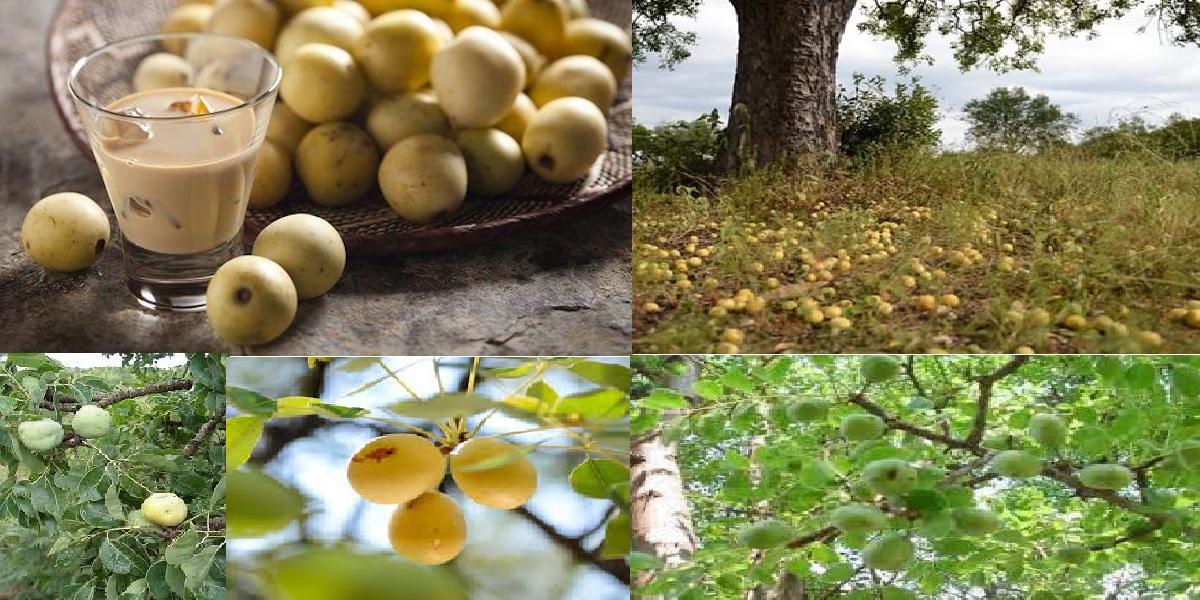 AMARULA FRUIT MAPFURA UMGANU