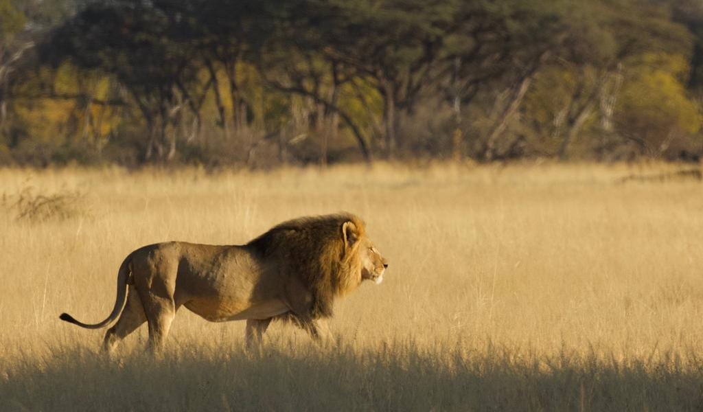 Another Iconic Lion Killed By American Hunter
